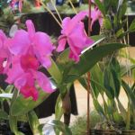 2010-Autumn-East-Rand-Orchid-Show-04