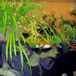 2010-Autumn-East-Rand-Orchid-Show-06