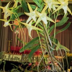 2011-Spring-East-Rand-Orchid-Show-01