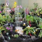 2012-Autumn-East-Rand-Orchid-Show-02