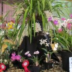 2012-Autumn-East-Rand-Orchid-Show-06