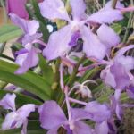2013 Autumn East Rand Orchid Show 04