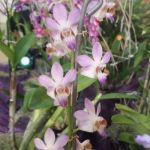 2013 Autumn East Rand Orchid Show 06