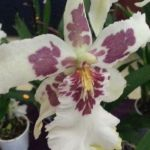 2013 Autumn East Rand Orchid Show 09