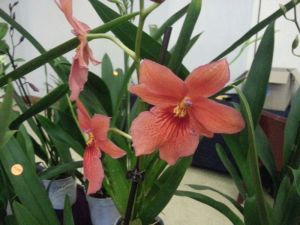 2013 Autumn East Rand Orchid Show 10