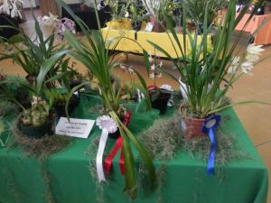 2013 Autumn East Rand Orchid Show 11