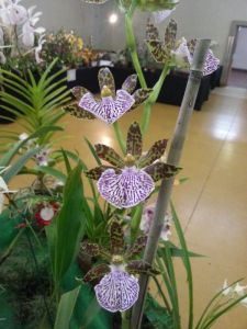 2013 Autumn East Rand Orchid Show 13