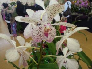 2013 Autumn East Rand Orchid Show 15