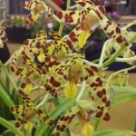 2013 Autumn East Rand Orchid Show 16