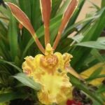 2013 Autumn East Rand Orchid Show 18