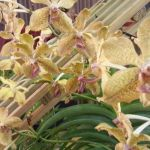 2013 Autumn East Rand Orchid Show 19