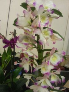 2013 Autumn East Rand Orchid Show 21