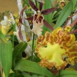 2013 Autumn East Rand Orchid Show 22