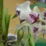 2013 Autumn East Rand Orchid Show 24