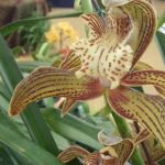 2013 Autumn East Rand Orchid Show 25