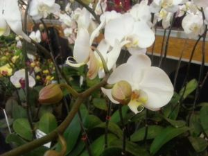 2013 Autumn East Rand Orchid Show 26