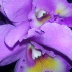 2013 Autumn East Rand Orchid Show 27