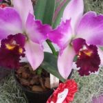 2013 Autumn East Rand Orchid Show 37