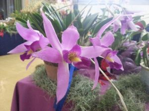 2013 Autumn East Rand Orchid Show 40