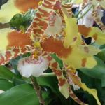 2013 Autumn East Rand Orchid Show 42