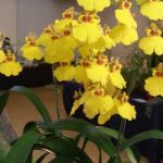 2013 Autumn East Rand Orchid Show 43