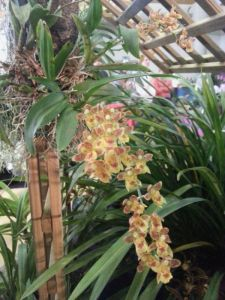 2013 Autumn East Rand Orchid Show 49