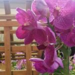 2013 Autumn East Rand Orchid Show 50