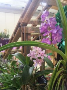 2013 Autumn East Rand Orchid Show 51