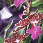 2013 Autumn East Rand Orchid Show 52