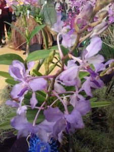 2013 Autumn East Rand Orchid Show 53