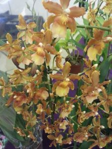 2013 Autumn East Rand Orchid Show 54