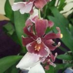 2013 Autumn East Rand Orchid Show 55