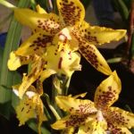 2013 Autumn East Rand Orchid Show 58