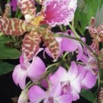 2013 Autumn East Rand Orchid Show 59