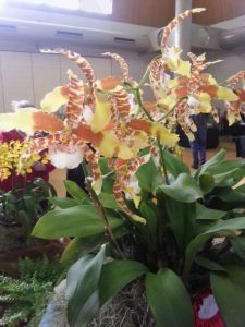 2013 Autumn East Rand Orchid Show 61