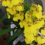 2013 Autumn East Rand Orchid Show 62