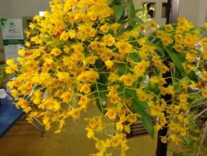 2013 Spring East Rand Orchid Show 01