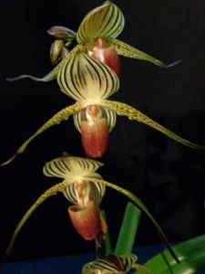 2013 Spring East Rand Orchid Show 10