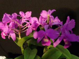 2013 Spring East Rand Orchid Show 12