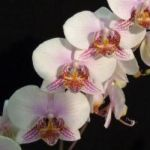 2013 Spring East Rand Orchid Show 16