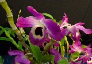 2013 Spring East Rand Orchid Show 18