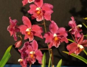 2013 Spring East Rand Orchid Show 19