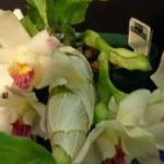 2013 Spring East Rand Orchid Show 20