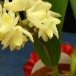 2013 Spring East Rand Orchid Show 21