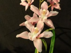 2013 Spring East Rand Orchid Show 24
